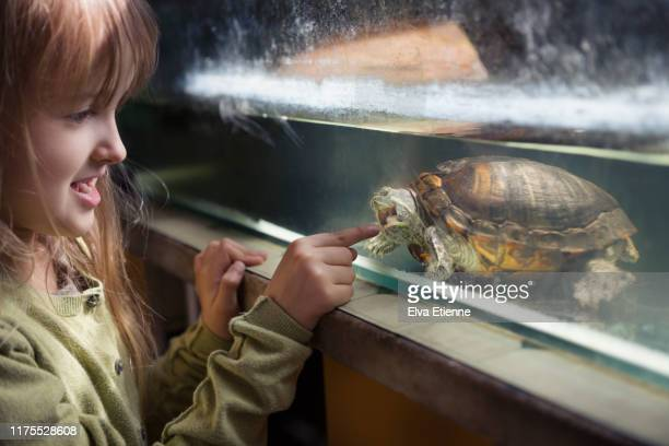 young girl pointing at a terrapin in a tank, which is attempting to bite her finger through the glass - extra long stock pictures, royalty-free photos & images