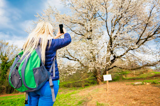 Young girl take a photo with a smartphone in front a old wild cherry tree in bloom.