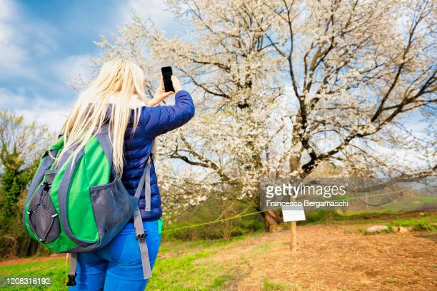 young girl take a photo with a smartphone in front a old wild cherry tree in bloom. - italia ストックフォトと画像