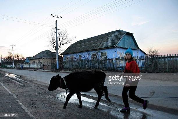 A young girl walks a calf back to her house along a main road in the village of Cosnitsa Moldova on Wednesday Nov 14 2007 Transnistria is in a...
