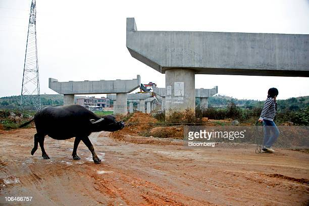 A young girl walks a water buffalo under an elevated highway that is still under construction in Dao county Hunan province China on Friday Oct 15...