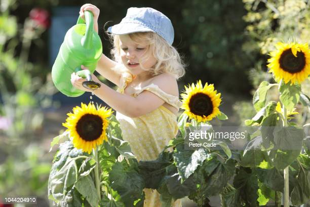 young girl watering sunflowers in garden - environmentalist stock pictures, royalty-free photos & images
