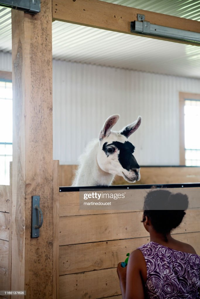 Young girl with autism connecting with llama in a special center. : Stock Photo