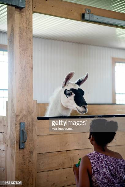 """young girl with autism connecting with llama in a special center. - """"martine doucet"""" or martinedoucet stock pictures, royalty-free photos & images"""