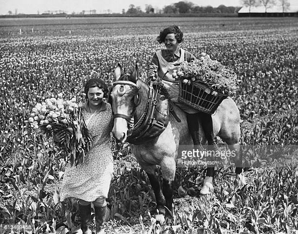 Young girls laden with tulips on a flower farm at Spalding Once gathered the blooms are transported by horse to onsite packing sheds from where they...