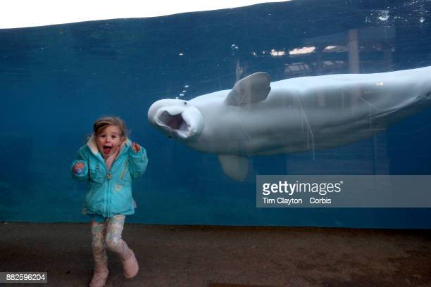 A young girls reacts as she is greeted by Juno a fifteen year old male Beluga Whale at the viewing window at Mystic Aquarium Juno is one of two...