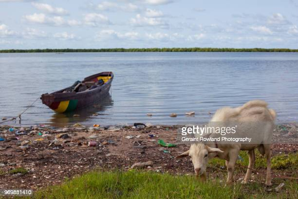 A young goat grazes on the riverbank in Senegal