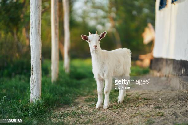 young goat in nature - goats stock pictures, royalty-free photos & images