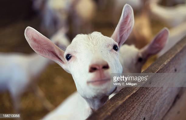 Young Goat Kid looking at camera