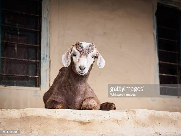 Young goat on verandah of traditional house, Nepal