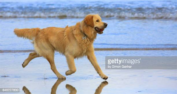 young golden retriever on beach - ゴールデンレトリバー ストックフォトと画像