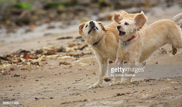 Young Golden Retriever Running on Beach with a Friend