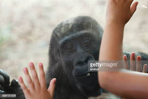 young gorilla in cabarceno wildlife park - gorilla hand stock photos and pictures