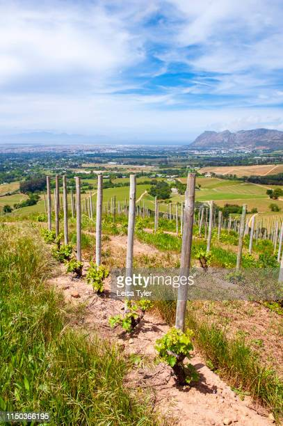 Young grape vines at Klein Constantia a 146hectare wine estate established in 1685 on the upper foothills of the Constantiaberg with views across...