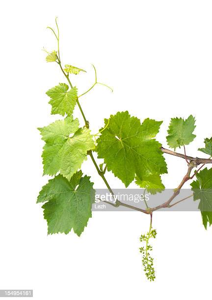 young grapevine - vine plant stock photos and pictures