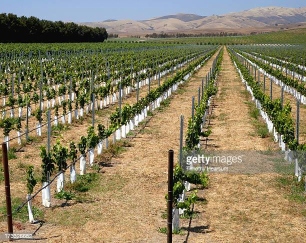 young grapevines in white protective sleeves - timothy hearsum stock photos and pictures