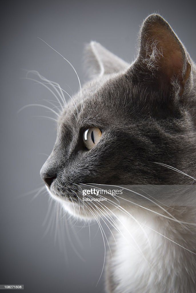 Young gray cat : Stock Photo