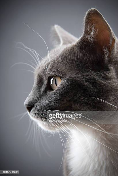 young gray cat - animal head stock pictures, royalty-free photos & images