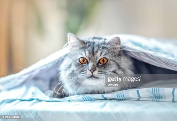 a young gray cat with yellow eyes hiding himself under the blanket in bed in the morning looking at camera - cat hiding under bed stock pictures, royalty-free photos & images
