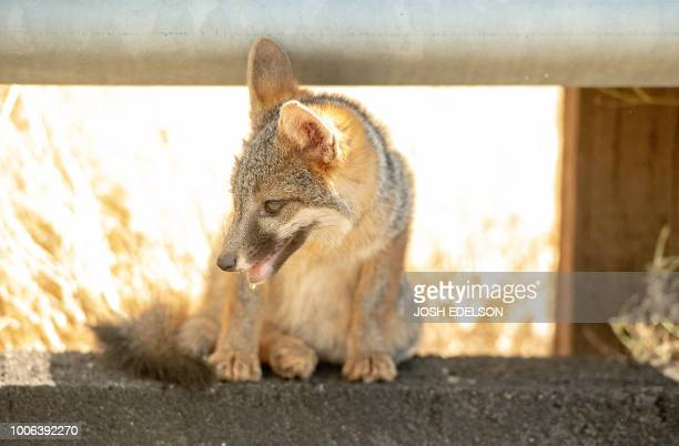 A young gray fox pants while taking cover under a side rail on the side of the road during 108degree heat as the Carr fire rages on near Whiskeytown...