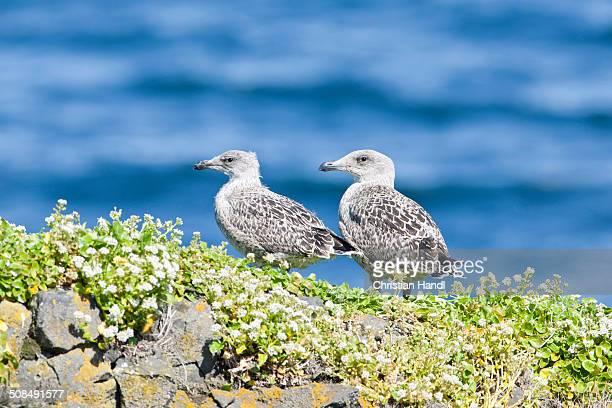 Young Great Black-backed Gull -Larus marinus-, hike at Fuglabjagarnes, northeastern coast, Vopnafjoerour, Iceland, Europe