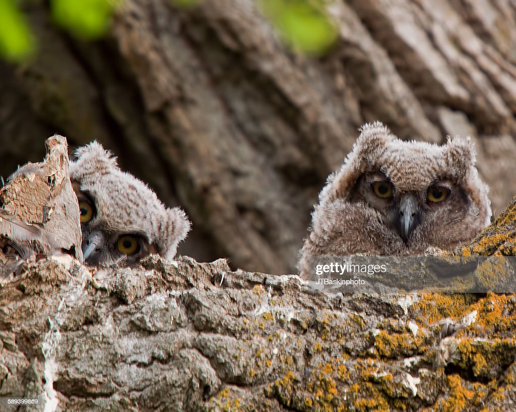 Young Great Horned Owls : Stock Photo