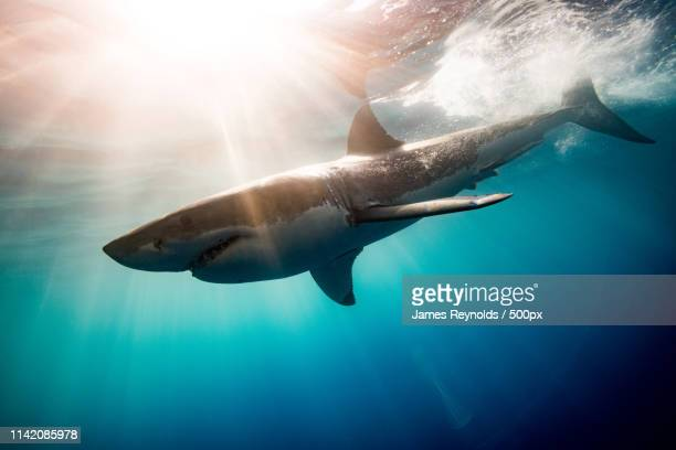 young great white shark - sharks stock pictures, royalty-free photos & images