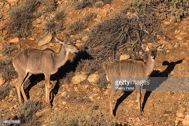 Young greater kudus walk in the Inverdoorn Game Reserve Stretching across 10 000 hectares Inverdoorn is one of the largest private wildlife reserves...