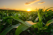 Young green corn growing on the field at sunset time.