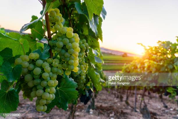 young green grape in champagne vineyards at montagne de reims - campania stock pictures, royalty-free photos & images