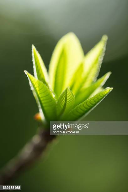 Young green leaf