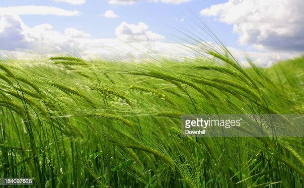 A young green wheat crop under a partly cloudy sky