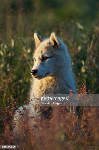 A young Greenland dog in the golden light of the midnight sun Ilulissat Western Greenland The Greenland dogs is a large breed of huskytype dog kept...