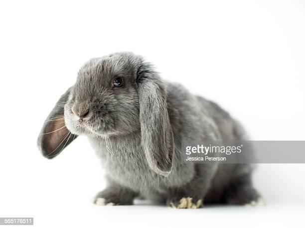 young grey bunny - coniglietto foto e immagini stock