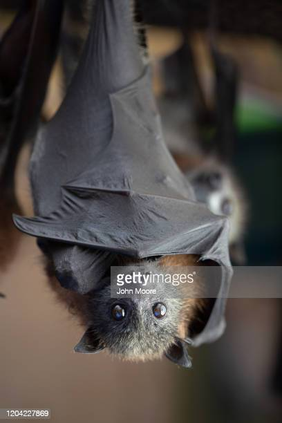 "Young grey headed ""flying fox"" bat named Izzie hangs on January 27, 2020 in Bomaderry, Australia. The Shoalhaven Bat Clinic and Sanctuary has..."