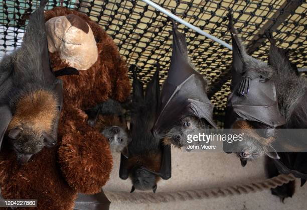 "Young grey headed ""flying fox"" bats hang with a teddy bear to cuddle on January 27, 2020 in Bomaderry, Australia. The Shoalhaven Bat Clinic and..."