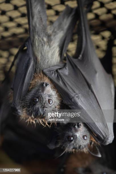 "Young grey headed ""flying fox"" twin bats Gideon and Aidan hang together on January 27, 2020 in Bomaderry, Australia. The Shoalhaven Bat Clinic and..."