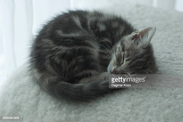 Young grey kitten sleeping curled up