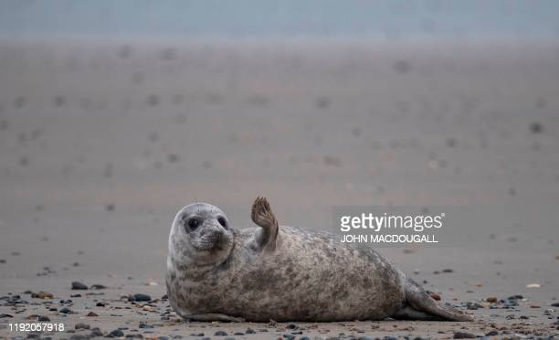 TOPSHOT A young grey seal gestures as it lies on a beach on the North Sea island of Helgoland Germany on January 5 2020 Hundreds of Grey Seals use...