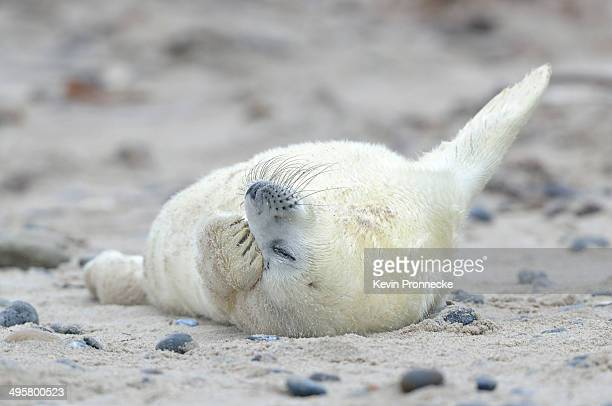 young grey seal -halichoerus grypus- pup, on the beach, dune island, helgoland, schleswig-holstein, germany - schleswig holstein stock pictures, royalty-free photos & images