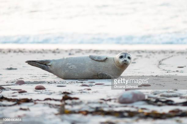 young grey seal on a sandy beach in the evening. the island of heligoland, germany. - foca imagens e fotografias de stock
