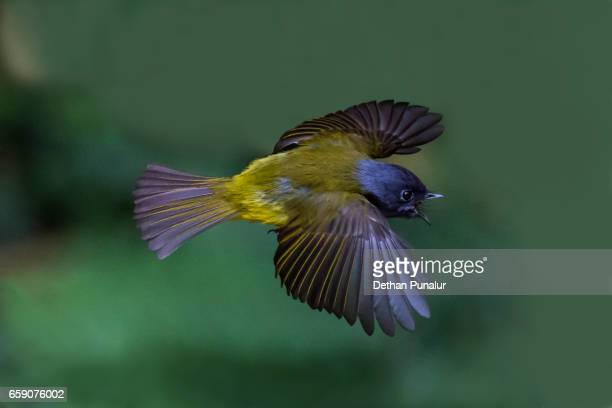 A young grey-headed canary-flycatcher (Culicicapa ceylonensis) flying and try to catch small flys.
