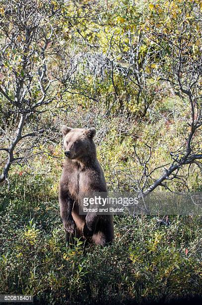 Young Grizzly Bear, Denali National Park Alaska