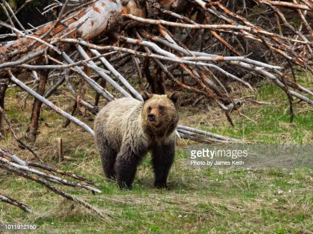 a young grizzly bear sighted near the road. - grizzly bear stock photos and pictures