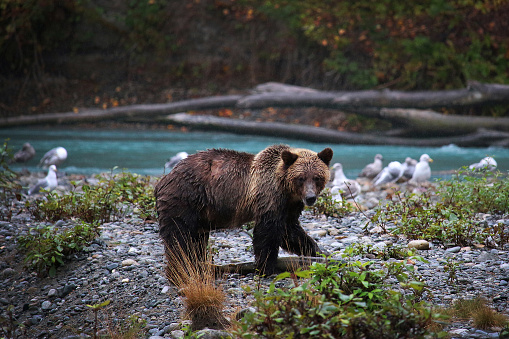Young Grizzly Bear with Salmon 913121718