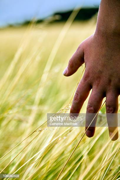 a young hand brushing through long golden grass - catherine macbride stockfoto's en -beelden