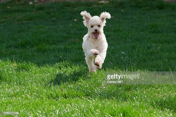 young happy poodle - standard poodle stock photos and pictures