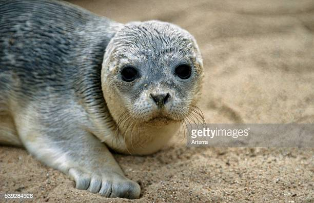 Young harbour seal / common seal on the beach Harbor Seal station Friedrichskoog Germany
