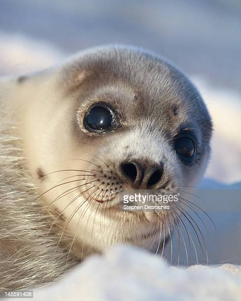 young harp seal - baby seal stock photos and pictures