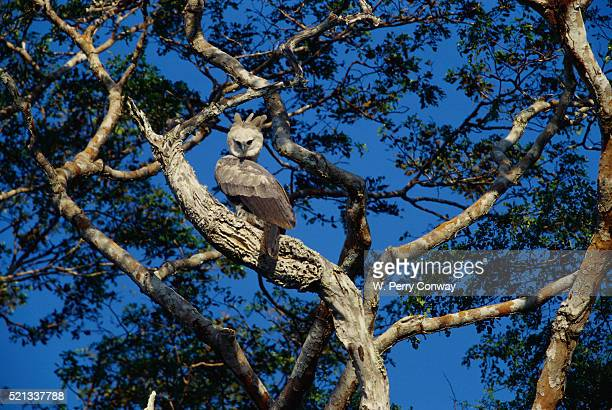 young harpy eagle perched in tree - harpy eagle stock photos and pictures
